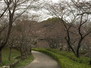 桜情報H31.3.30